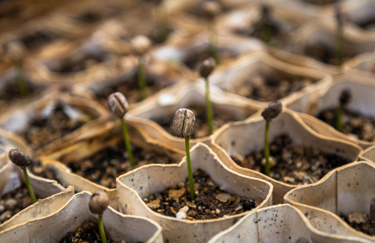 coffee seeds sprouting (c) Christian Joudrey