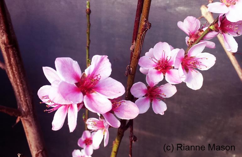 peach blossom (c) Rianne Mason