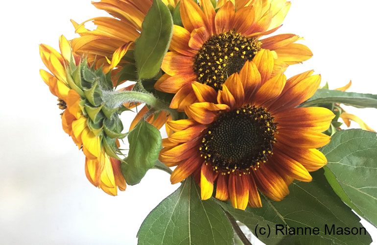 sunflowers (c) Rianne Mason