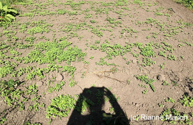 Mustard seed (c) Rianne Mason