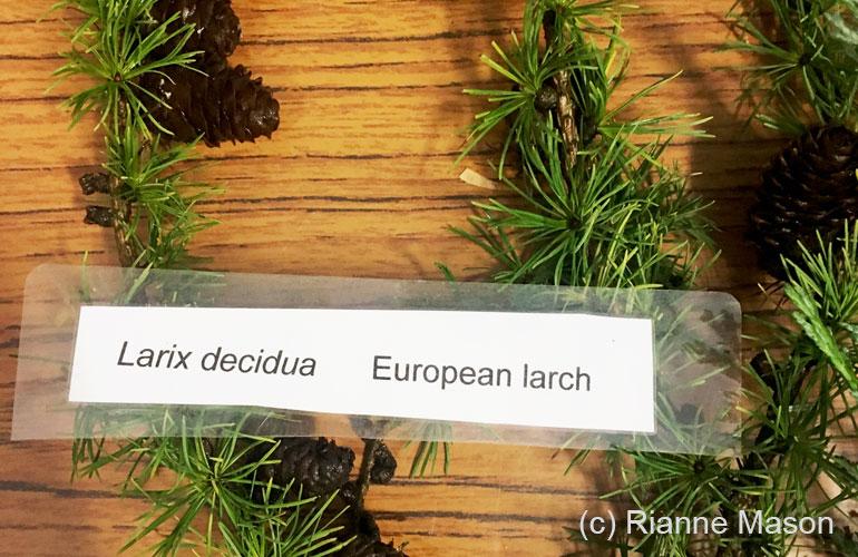Larix decidua (c) Rianne Mason