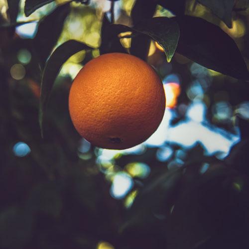 Orange tree (c) Tim Mossholder