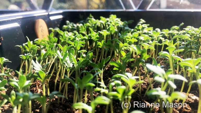 Sprouting cress (c) Rianne Mason