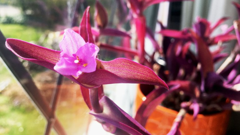 Wandering Jew plant (c) Rianne Mason