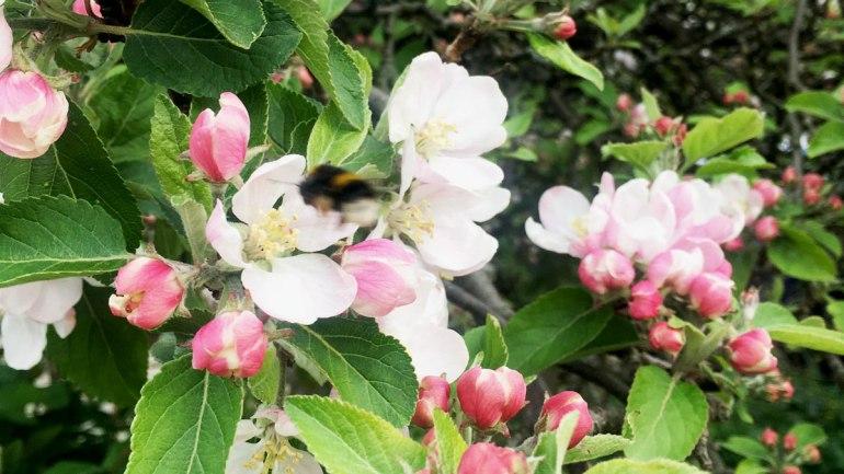 Apple blossom (c) Rianne Mason