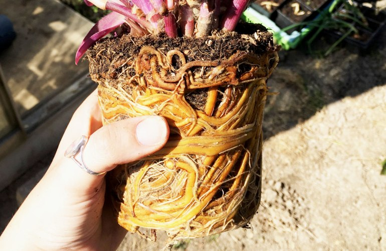 Roots of 'Wandering Jew' plant (c) Rianne Mason