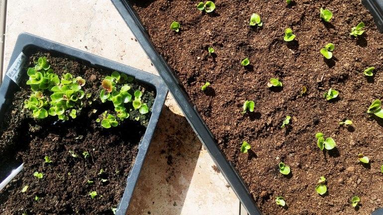 Begonia seedlings (c) Rianne Mason