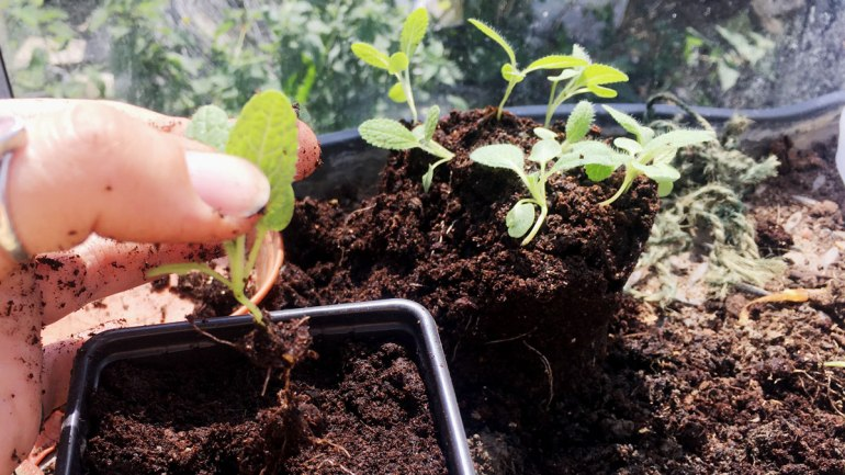 Clary sage seedlings (c) Rianne Mason