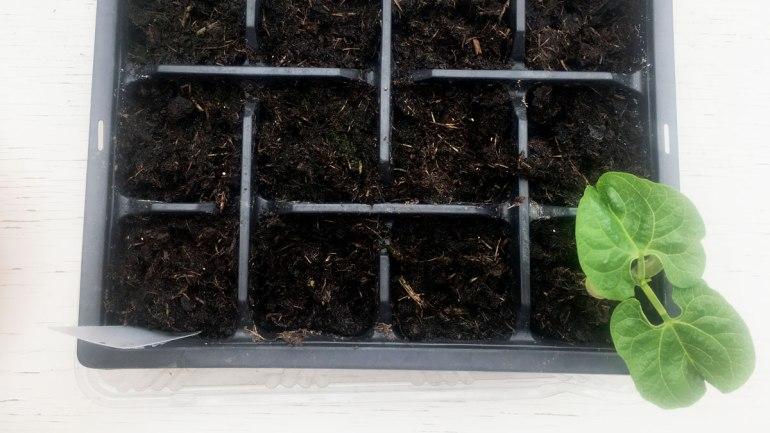 Cobra bean seedling (c) Rianne Mason