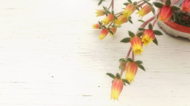 Echeveria setosa flower (c) Rianne Mason