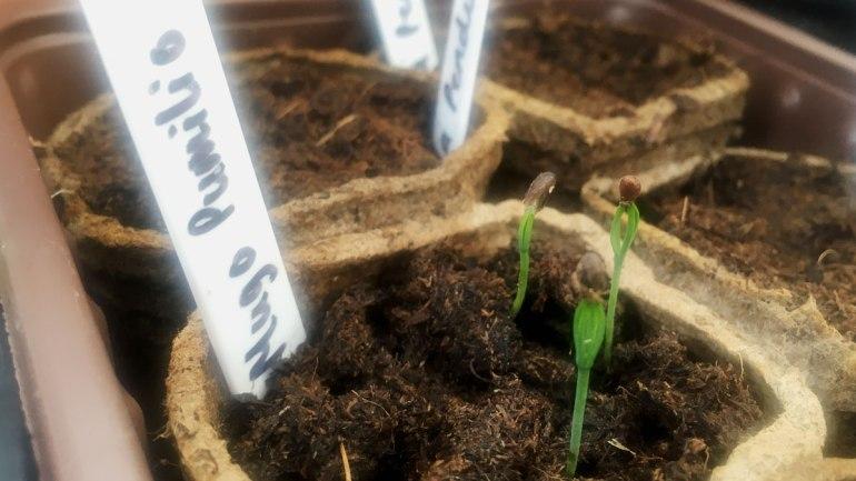 Mugo pumilio seedlings (c) Rianne Mason