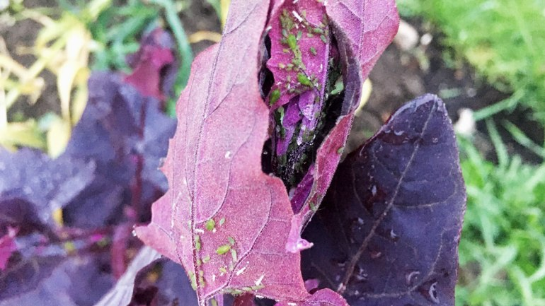 Green aphids on orach (c) Rianne Mason