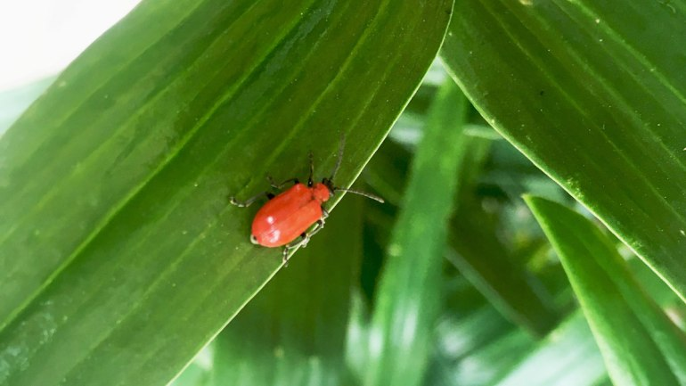 Lily beetle (c) Rianne Mason