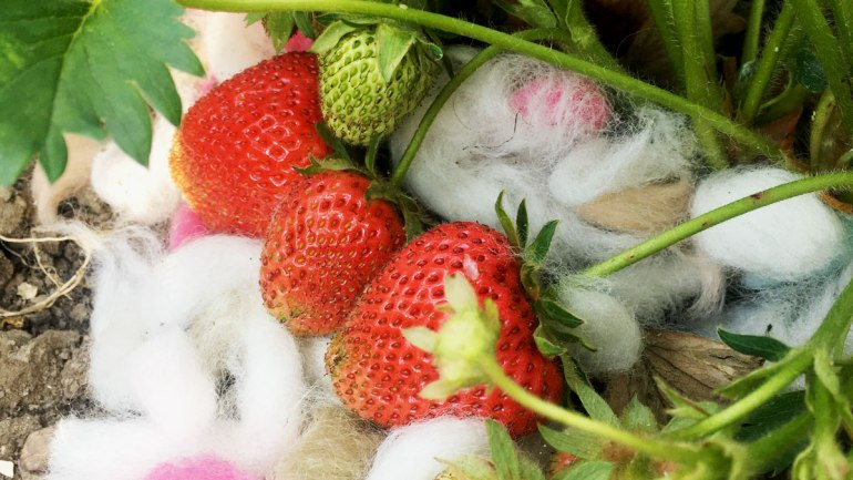 Wool mulch on strawberries (c) Rianne Mason