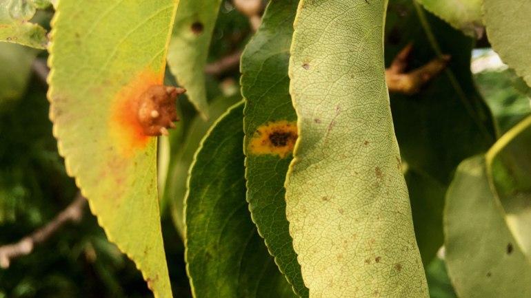 Pear rust (c) Rianne Mason