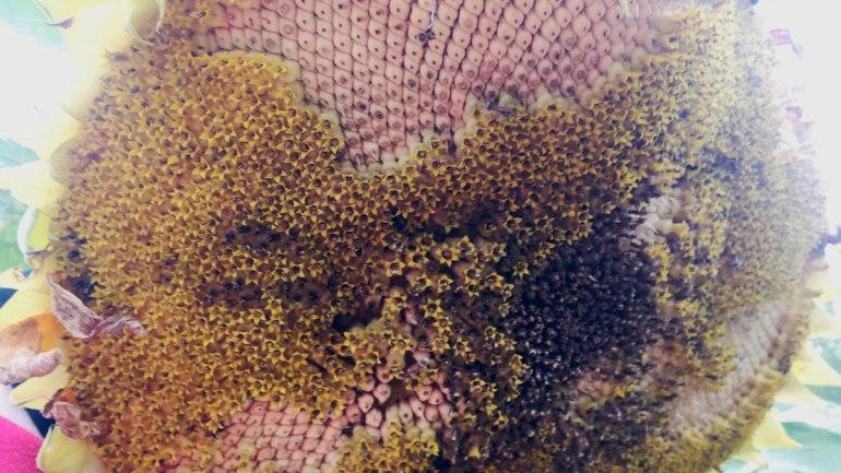 Sunflower (c) Rianne Mason