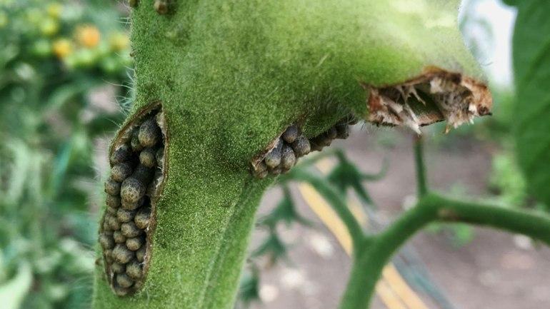 Tomato disease (c) Rianne Mason
