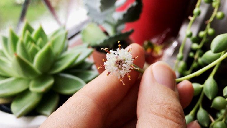 String of Pearls flower (c) Rianne Mason