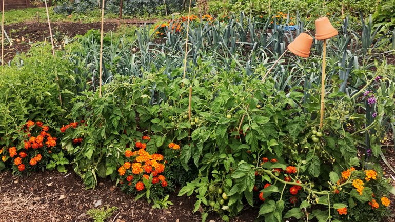Marigolds as companion plants (c) Rianne Mason