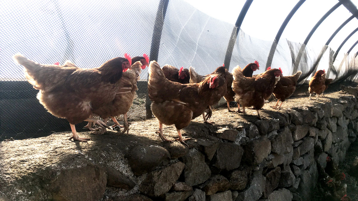Chickens in a row (c) Rianne Mason