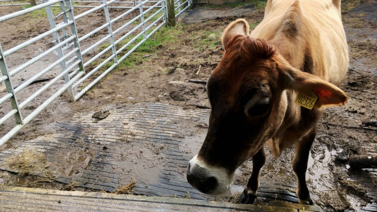 Jersey cow at Henbant permaculture farm (c) Rianne Mason