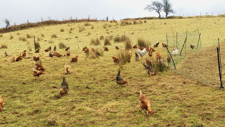 Pasture-fed chickens (c) Rianne Mason