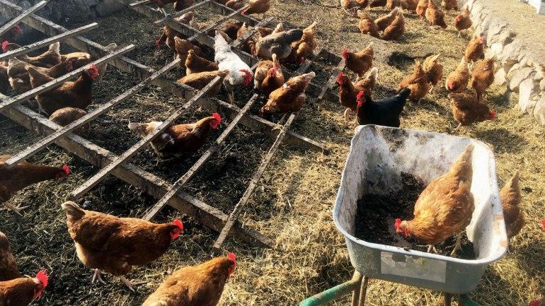 Chicken in a wheelbarrow at Henbant farm (c) Rianne Mason