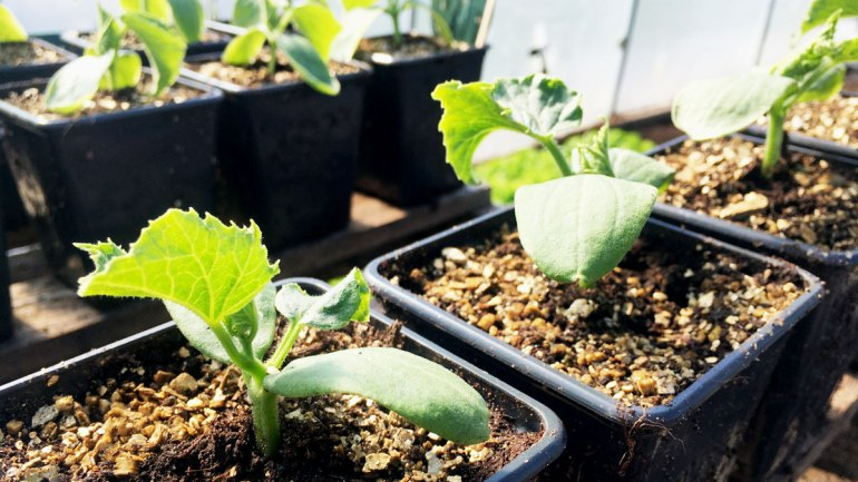 Kale seedlings at Henbant (c) Rianne Mason