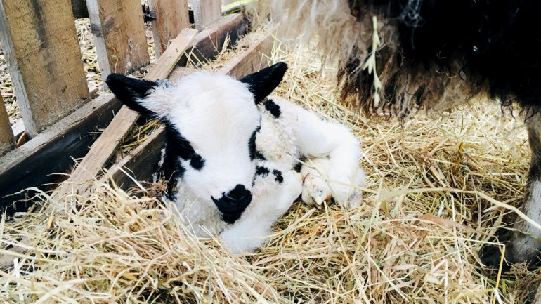 A new-born lamb at Henbant (c) Rianne Mason
