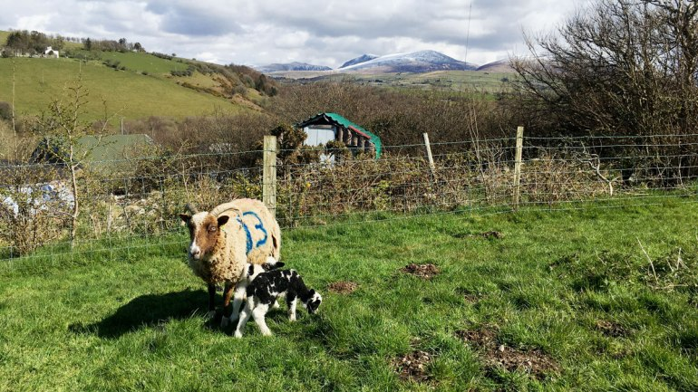 Sheep and her lamb at Henbant permaculture farm (c) Rianne Mason