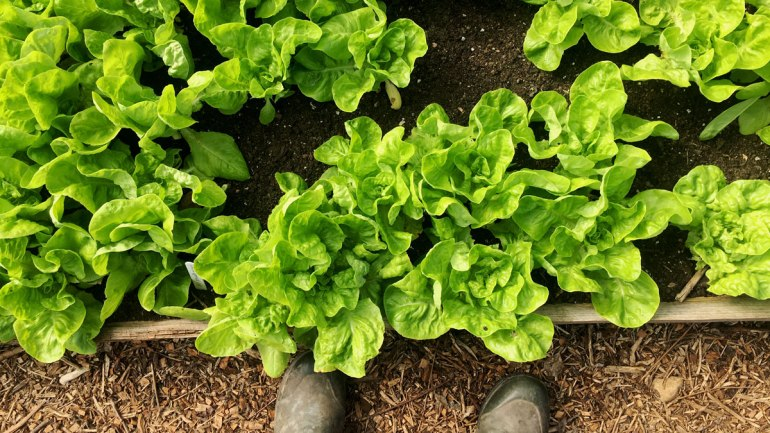 Lettuce at Henbant permaculture farm (c) Rianne Mason