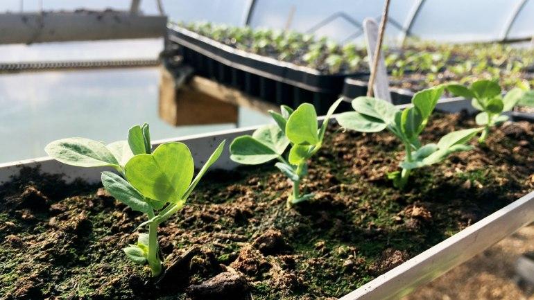 Pea seedlings at Henbant (c) Rianne Mason